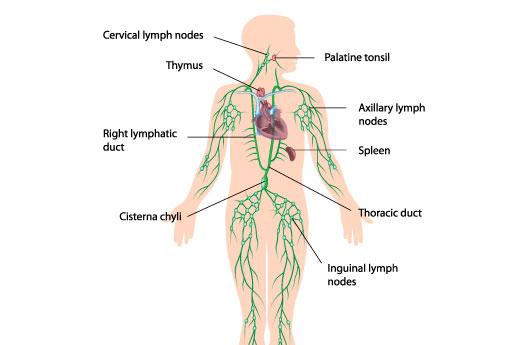 Lymfestelsel oedeemtherapie